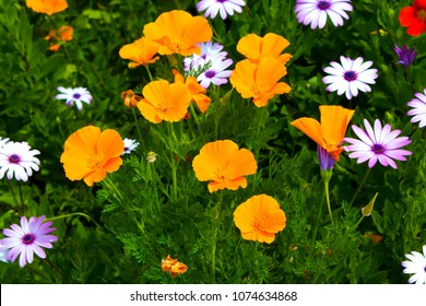 Brilliant buttercup yellow flowers of Eschscholzia californica (Californian poppy,golden poppy, California sunlight, cup of gold)  a species of flowering plant in  family Papaveraceae  are bright