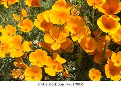 Brilliant buttercup yellow flowers of Eschscholzia californica (Californian poppy,golden poppy, California sunlight, cup of gold)  a species of flowering plant in  family Papaveraceae  are bright.