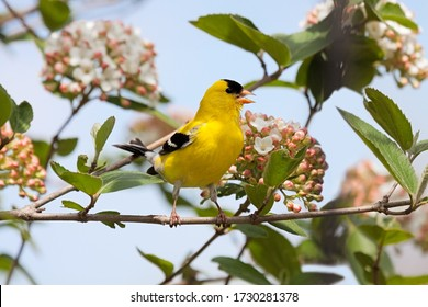 A brilliant colored goldfinch sings a song in a blossoming viburnum bush.