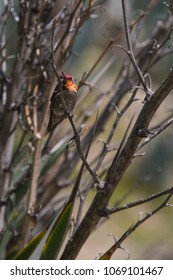 Brilliant colored Hummingbird on a branch