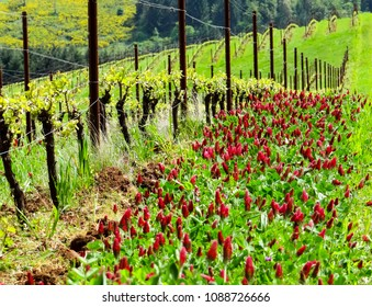 Brilliant crimson clover is a cover crop between rows of vines in this Oregon vineyard, stakes and lines of vines lead away down the hill.