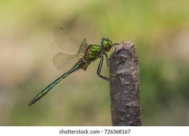 Brilliant emerald dragonfly - Somatochlora metallica - male