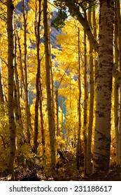 Brilliant fall colors in an Aspen forest at Lundy Lake, Northern California