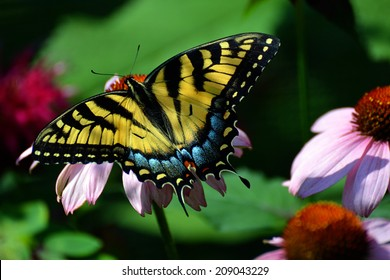 brilliant female tiger swallowtail butterfly in a garden