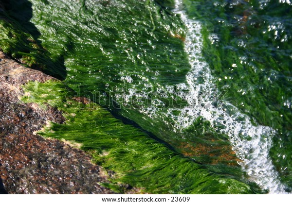 Brilliant green algae