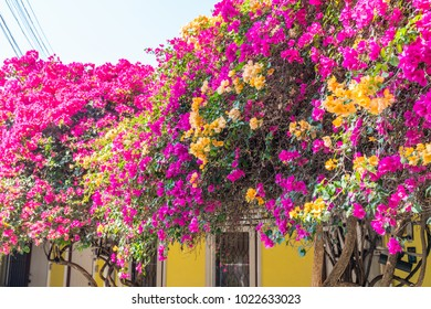 Brilliant highly colorful display bouganvillea flowers on vine against building.
