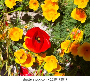 Brilliant intense brilliant red of the Flander's Poppy papaver rhoeas is contrasted against the black cross in the center and is a remembrance symbol of the First World War battle in Flander's fields