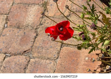 Brilliant intense brilliant red of the Flander's Poppy papaver rhoeas is contrasted against the black cross in the center and is a remembrance symbol of the First World War battle in Flander's fields.