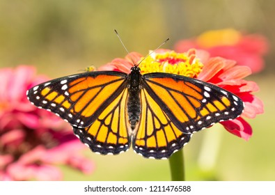 Brilliant orange and black Viceroy butterfly resting on a Zinnia flower in morning sun soon after eclosing from chrysalis
