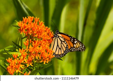 A brilliant, orange Monarch (danaus plexippus) pollinates a butterfly weed plant (asclepias tuberosa) with green leaves