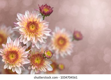 Brilliant pink and yellow Chrysanthemums and orange center with light purple outer colors on the petals in a faded pink bokeh background.
