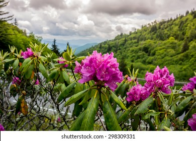 Brilliant purple rhododendron near the road that runs through Great Smoky Mountain National Park