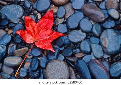 Brilliant red fall leaf on river rocks