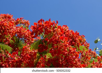Brilliant red flowers of Poinciana -delonix  regia tree  known as  flamboyant, flame tree,  peacock flower,  royal poinciana, or  red tree ,blooming in summer Wet Season in Broome, Western Australia.