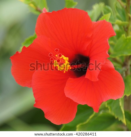 Brilliant Red Hibiscus On Sunny Day Stock Photo Edit Now 420286411
