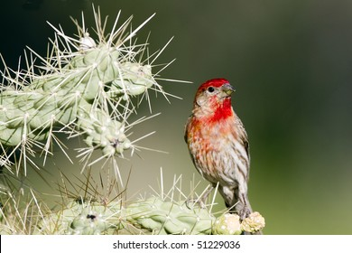 Brilliant red male House Finch perches in a Cholla cactus