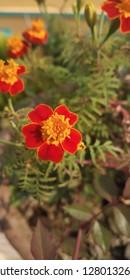 brilliant red marigold