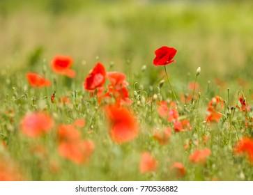 Brilliant red poppy field