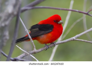 Brilliant red Scarlet tanager bird