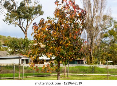 Brilliant  russet orange, green and red autumn foliage of deciduous trees like maples add color to the garden and park land scape as the leaves fall carpeting the ground below.