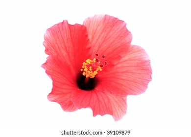 Brilliant or San Diego Red, Tropical Hibiscus; focus on Pistil