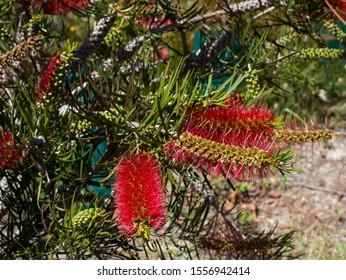 Brilliant spectacular West Australian wildflower red bottlebrush callistemon shrub blooming in Bunbury, Western Australia in spring attracts honey bees and native birds to the sweet nectar.