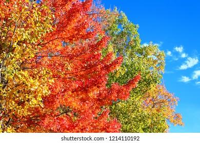 Brilliant spectrum of autumn colors against a bright blue sky in upper Michigan
