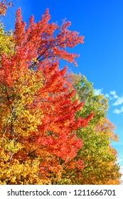 Brilliant spectrum of fall colors against a bright blue sky in upper Michigan