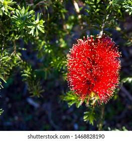 Brilliant West Australian wildflower red bottlebrush callistemon shrub blooming in Big Swamp, Bunbury, Western Australia in winter attracts honey bees and native birds to the sweet nectar.