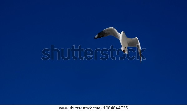 Brilliant white seagull flying over plain blue sky background with a subtle gradient