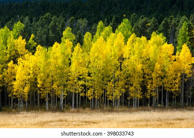 Brilliant yellow aspen trees behind tan grass and in front of green pines
