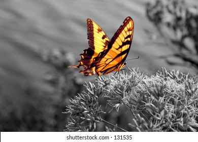 Brilliant yellow butterfly in a black-and-white world (focused on thorax)
