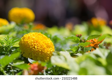 Brilliant Yellow Marigold Flower with Blurred Flowers in Background