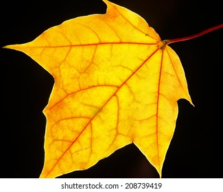 Brilliant Yellow is a photograph of a yellow leaf back lite to isolate the leaf and enhance the brightness of it.