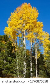 The brilliant yellows of aspen tree leaves in autumn are set off perfectly against the sapphire sky.