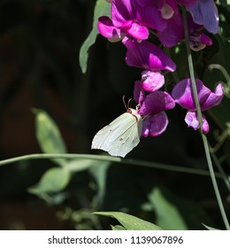 Brimstone butterfly feeding nectar on a sweet pea flower