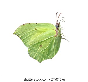 brimstone - first butterfly