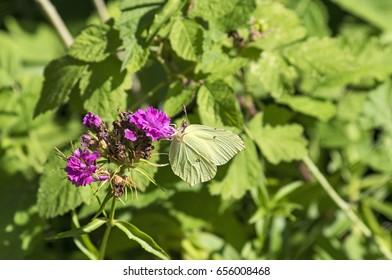 Brimstoone butterfly on a carnation