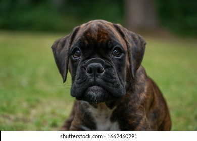 Brindle boxer puppy outdoors looking cute