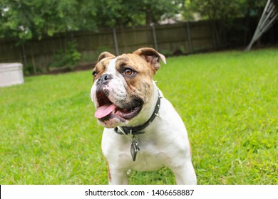 Brindle bulldog outside on grass