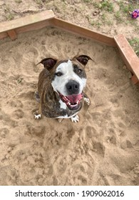 Brindle coated pit bull mixed breed dog outside sitting in the sandbox on a sunny day