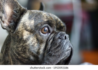Brindle French Bulldog breed dog in profile who is on the lookout for what's going on