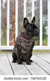 Brindle French Bulldog enjoying a fall day in his Camouflage vest.