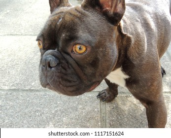 Brindle French Bulldog Looking Inquisitive and Close Up