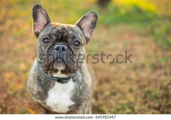 Brindle French Bulldog outside during the fall