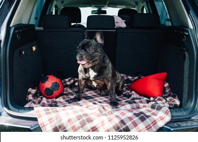 Brindle French bulldog sitting in the trunk of a car on a plaid with a red ball and a pillow in sunny weather, traveling with a dog concept