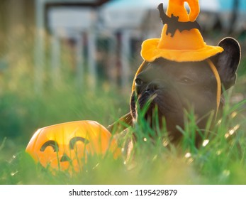Brindle french bulldog wearing hat halloween sitting in field grass with a plastic pumpkin beside him, pet costume for happy Halloween day.