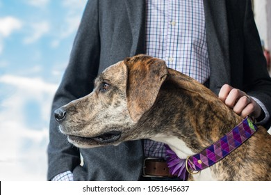 Brindle Great Dane focused on something in the distance while outside with young professional man