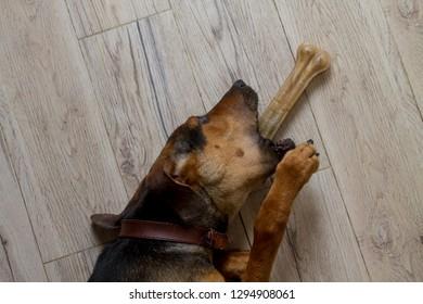 A brindle hound dog eating a dog bone, chew toy.