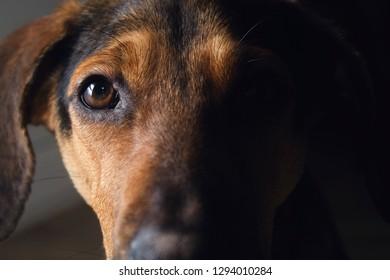 A brindle hound dog emerging from a shadow.